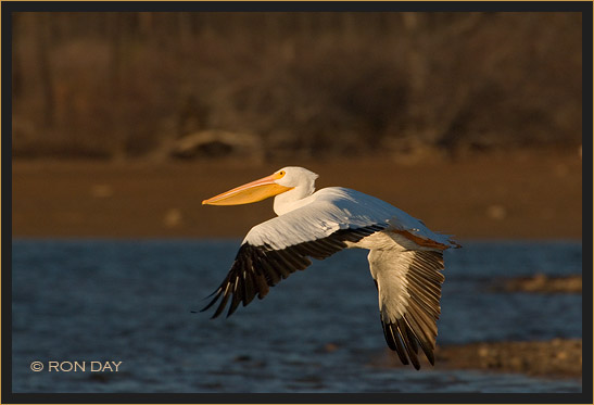 White Pelican, (Pelecanus erythrorhynchos), Flying